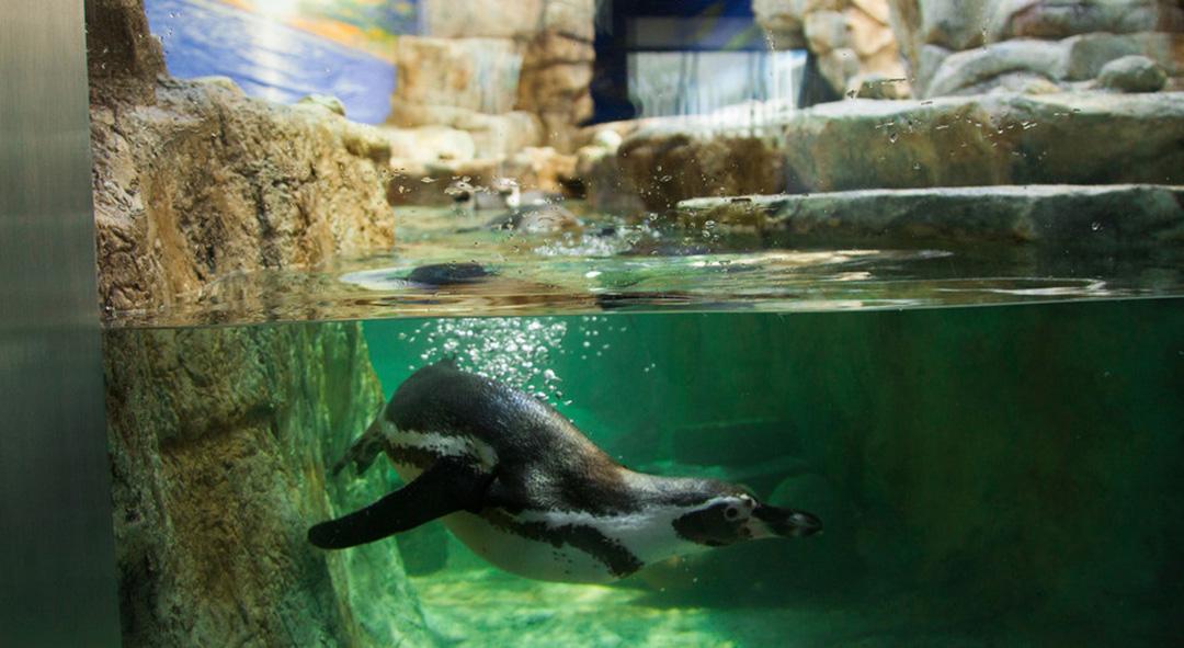 Humboldt Penguins, Oil Rig Aquarium, and a Shipwreck Replica ...